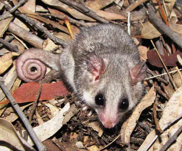 Tasmanian Pygmy Possum – Profile | Traits | Facts | Pet | Habitat