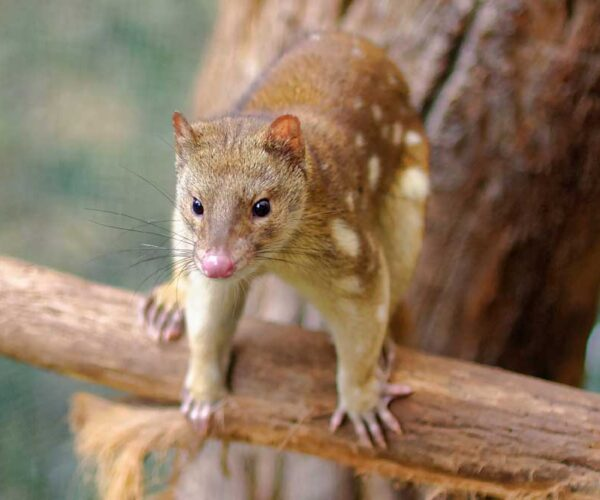 Tiger Quoll – Profile | Traits | Facts | Range | Pet | Baby | Cute