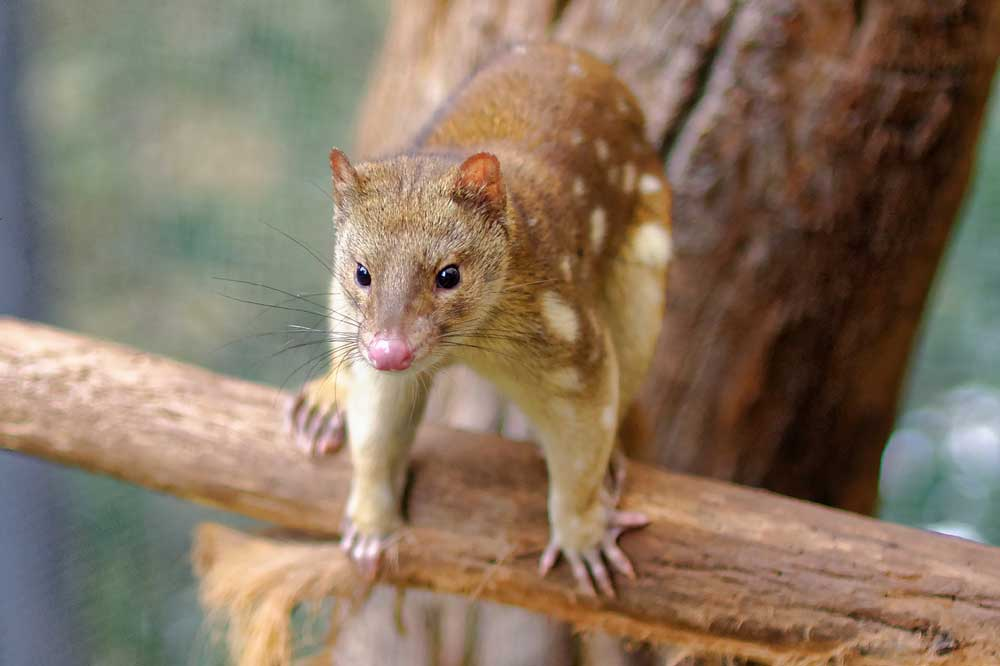 Tiger Quoll – Profile   Traits   Facts   Range   Pet   Baby   Cute