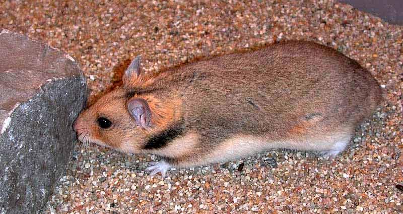Turkish Hamster – Profile | Facts | Traits | Habitat | Diet | Pet