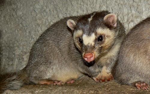 Vietnam Ferret-Badger – Profile | Traits | Facts | Behavior | Diet
