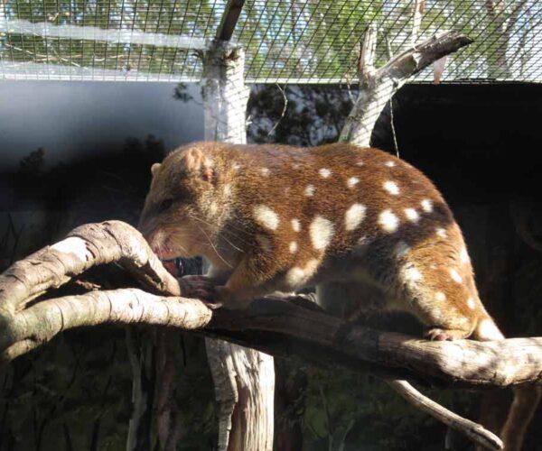 Western Quoll – Profile | Traits | Facts | Pet | Diet | Habitat