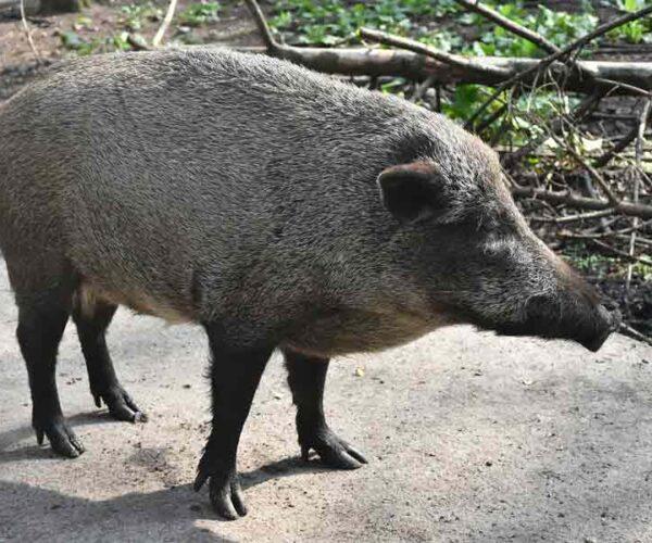 Wild Boar – Profile | Traits | Facts | Characteristics | Size | Diet