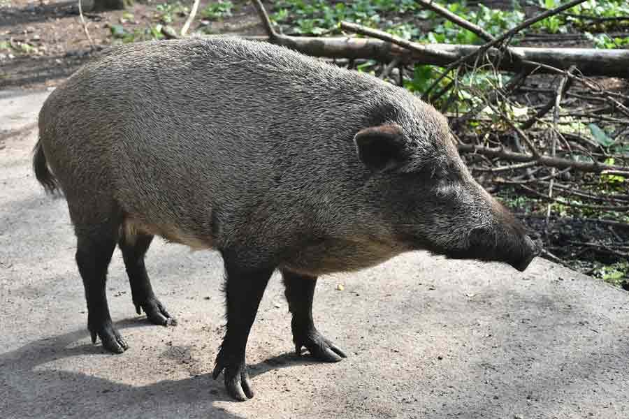 Wild Boar – Profile   Traits   Facts   Characteristics   Size   Diet