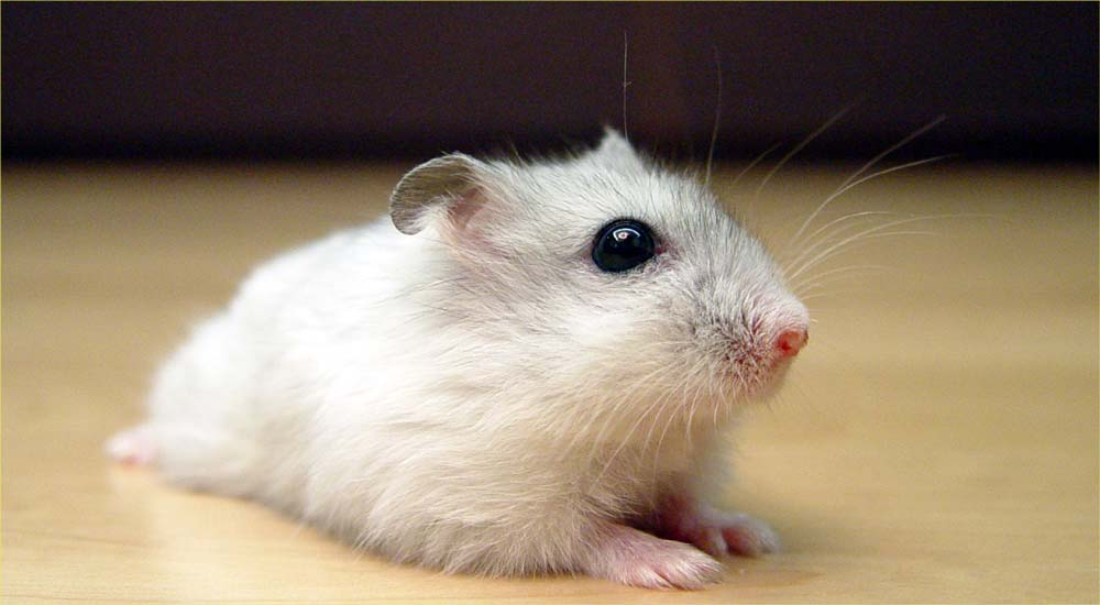 Winter White Dwarf Hamster – Profile | Facts | Traits | Color | Eyes | Pet