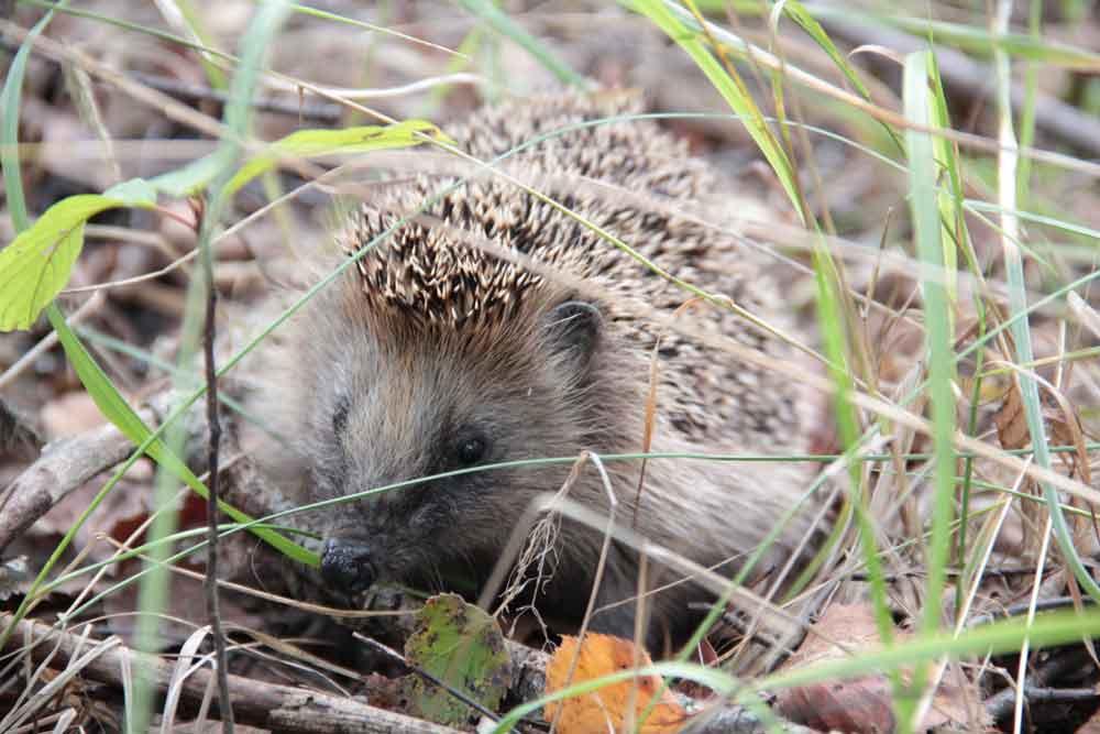 Woodland Hedgehog – Profile | Facts | Traits | Baby | Diet | Range