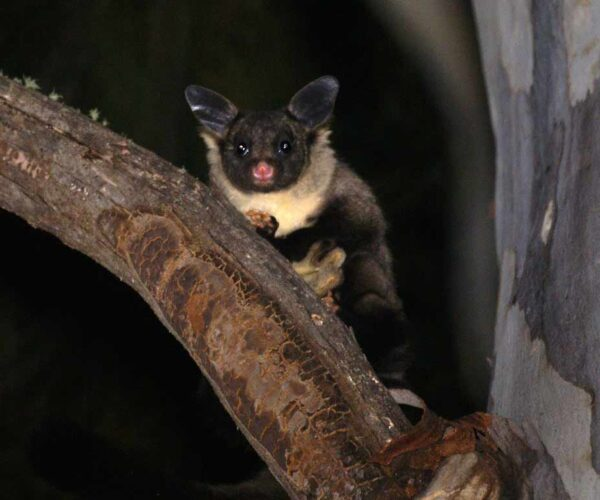 Yellow-Bellied Glider – Profile | Traits | Facts | Call | Baby | Flying
