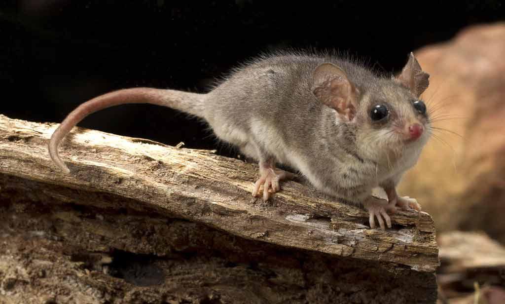 Australian Pygmy Possum – Profile | Traits | Facts | Pet | Tiny