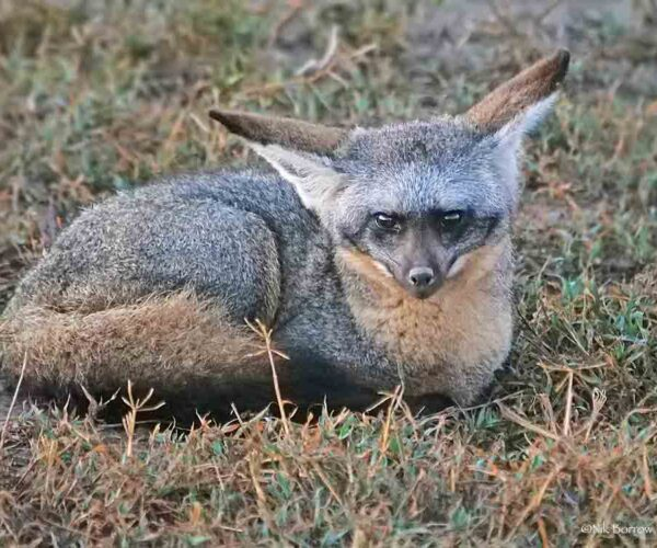 Bat Eared Fox – Profile   Traits   Facts   Skull   Baby   Diet   Teeth