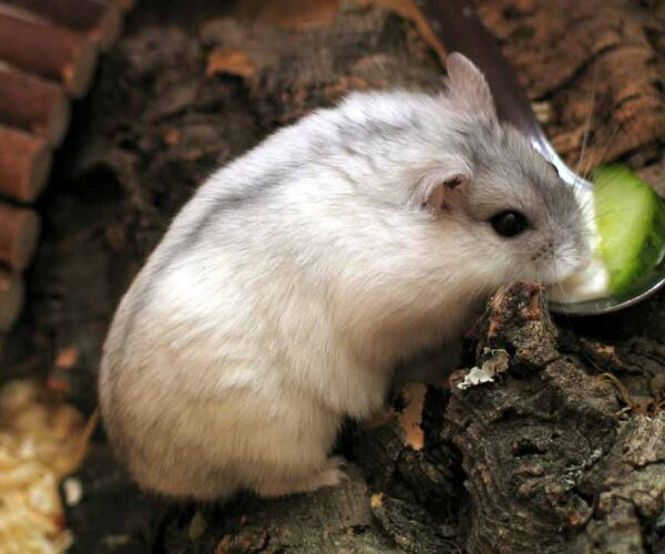Campbell's Dwarf Hamster – Profile | Facts | Traits | Colors | Size