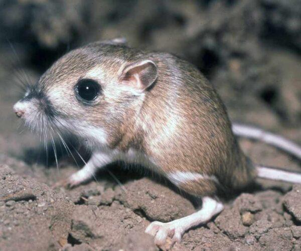 Desert Rat Kangaroo – Profile | Traits | Facts | Adaptations | Diet