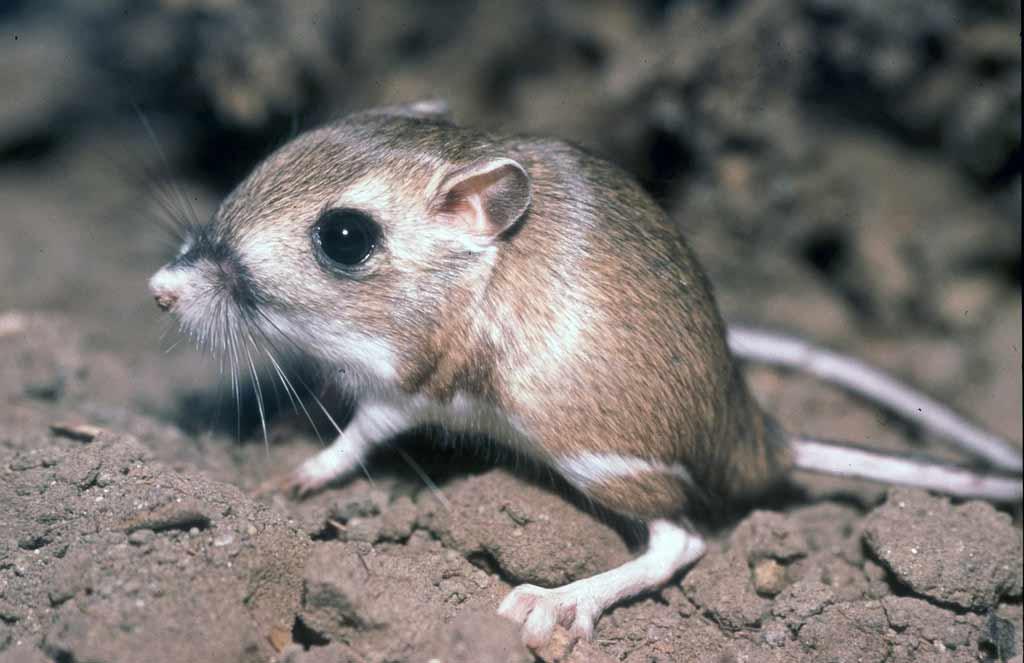 Desert Rat Kangaroo – Profile   Traits   Facts   Adaptations   Diet