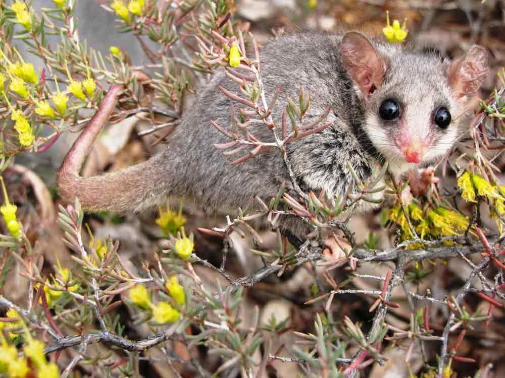 Eastern Pygmy Possum – Profile | Traits | Facts | Habitat | Diet