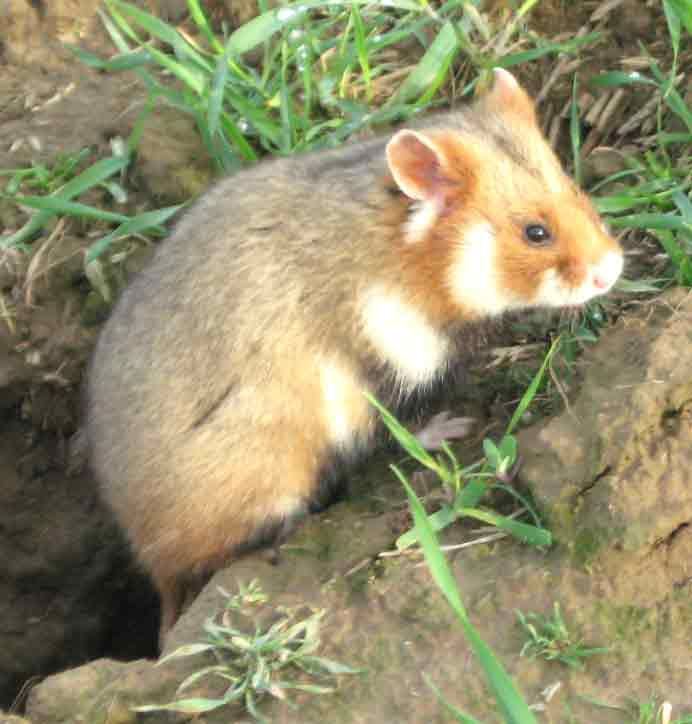 European Hamster – Profile | Facts | Traits | Size | Pet | Baby