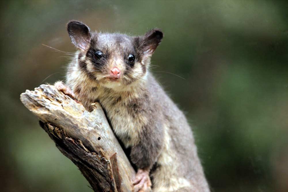 Leadbeater's Possum – Profile | Traits | Facts | Diet | Baby | Habitat