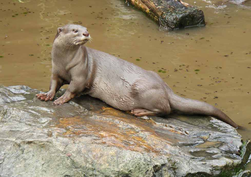 Smooth-Coated Otter – Profile | Traits | Facts | Swimming | Cute