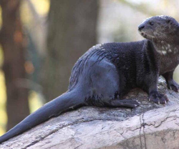 Spotted-Necked Otter – Profile | Traits | Facts | Baby | Behavior