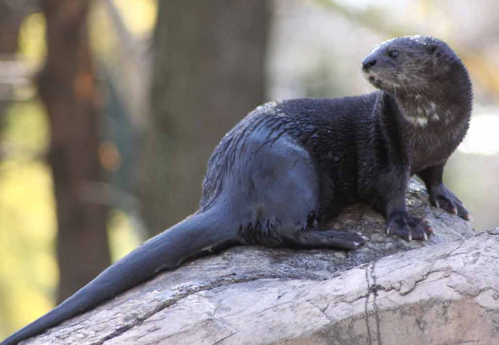 Spotted-Necked Otter – Profile   Traits   Facts   Baby   Behavior