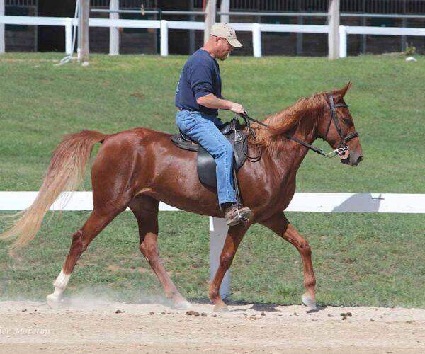 Kentucky Mountain Saddle Horse Breed Profile
