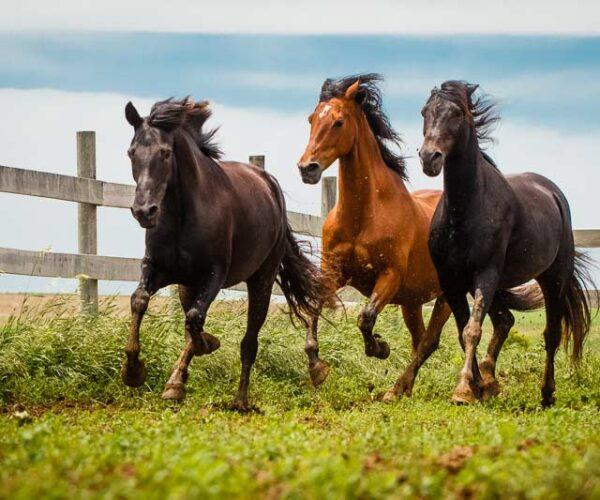Morgan Horse Breed – Profile   Characteristics   Care   Facts