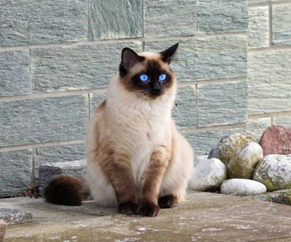 How Exclusive is a Siamese Cat with its Personality?