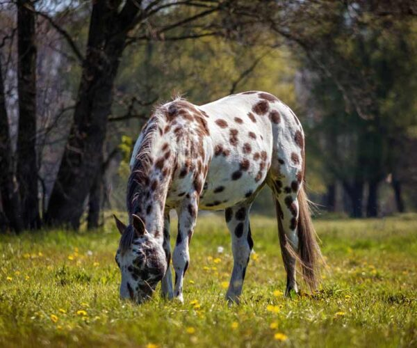 Appaloosa Horse Breed Profile, Facts and Information